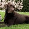 """Hier sein Bericht von der Richterin Anja Ballwieser - sie nannte unseren Benny """"Wuchtbrumme"""": """"Der 15 Monate alte Labrador Rüde ist ausgesprochen temperamentvoll, bewegungs-und spielfreudig."""""""