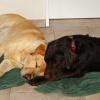 Bobby und Benny, frisch geduscht, liegen schon brav nebeneinander im Wohnzimmer auf dem Badetuch und schlafen.